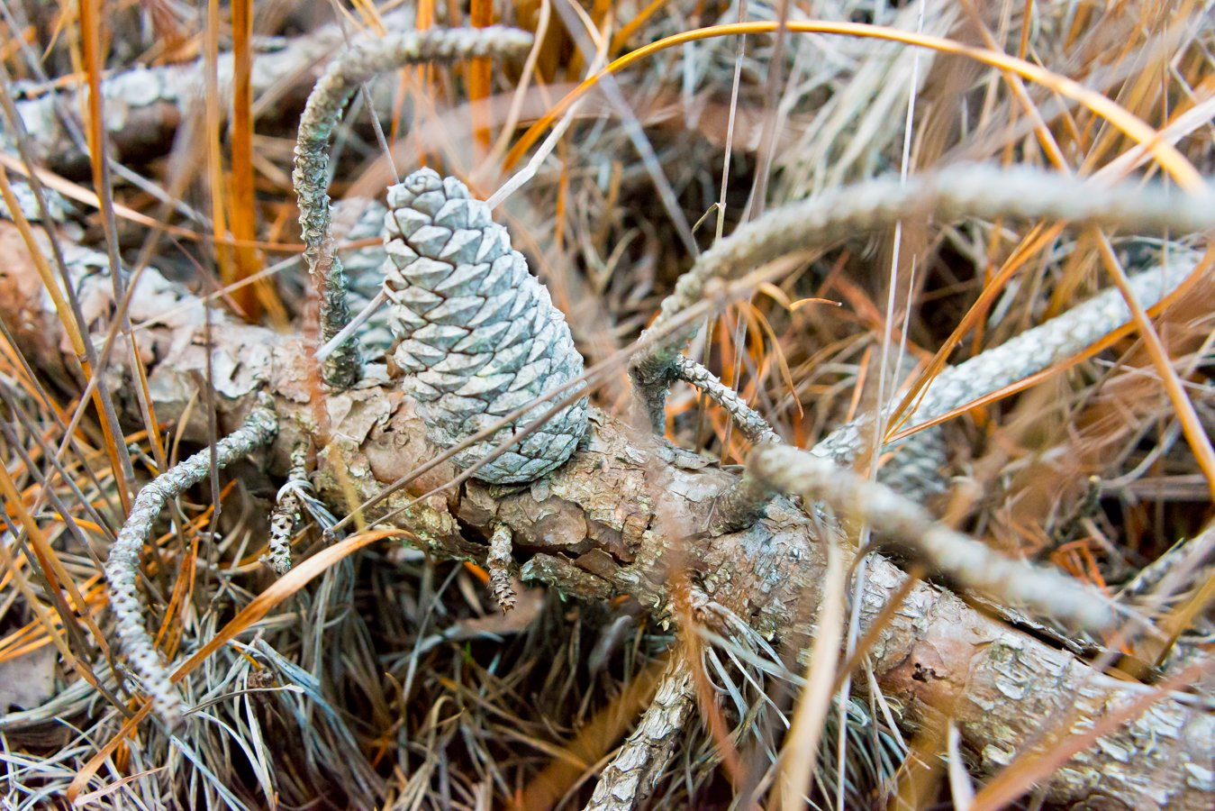 pinecones-pinebarrens-5698