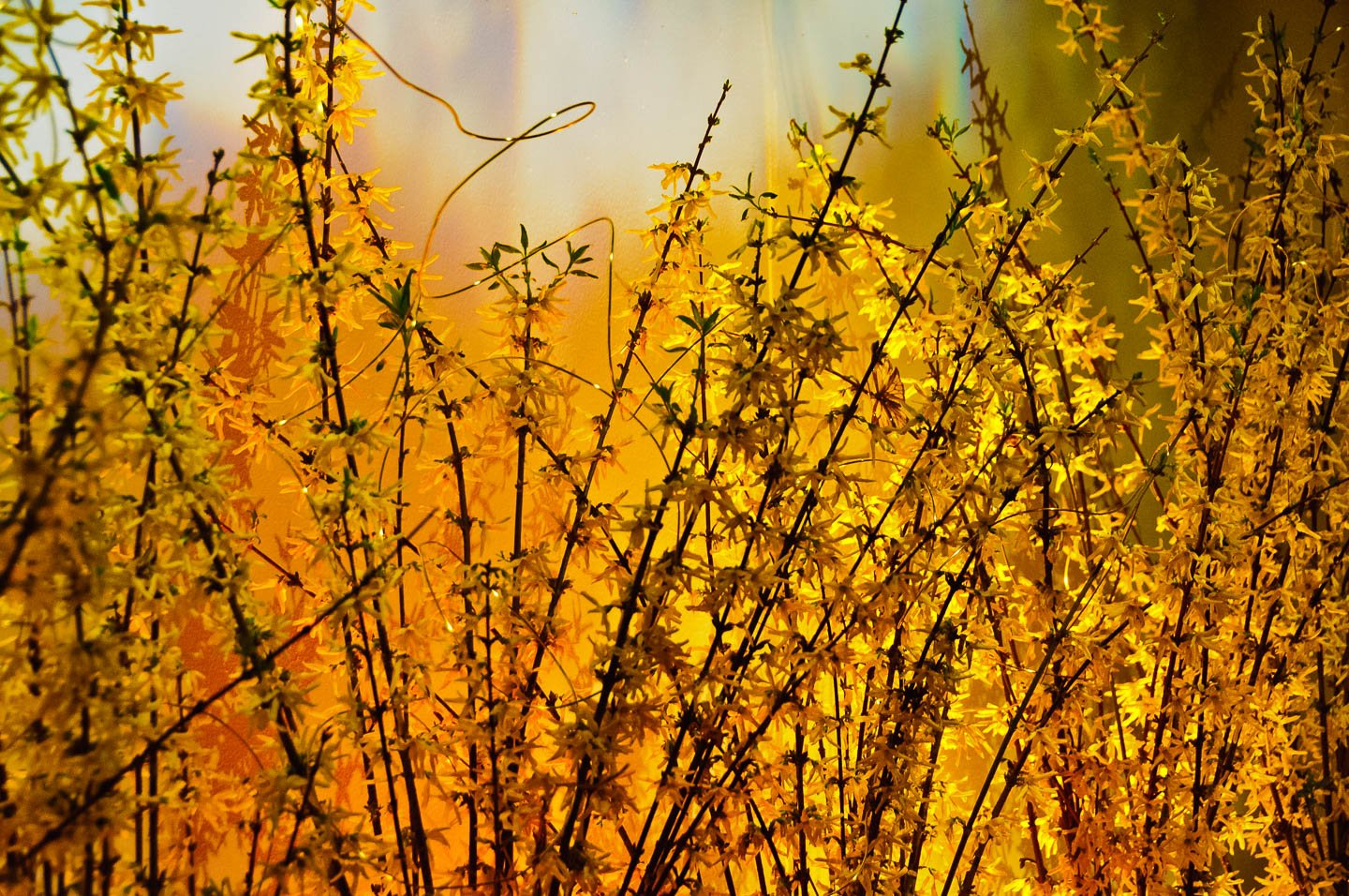 Forsythia-photos-6619